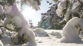 O sol do inverno quebra através dos ramos cobertos de neve do abeto Foto de Stock Royalty Free
