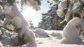 O sol do inverno quebra através dos ramos cobertos de neve do abeto Imagens de Stock