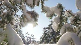 O sol do inverno quebra através dos ramos cobertos de neve do abeto Fotografia de Stock Royalty Free