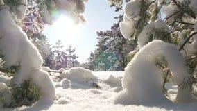 O sol do inverno quebra através dos ramos cobertos de neve do abeto Imagens de Stock Royalty Free