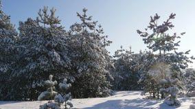 O sol do inverno quebra através dos ramos cobertos de neve do abeto video estoque