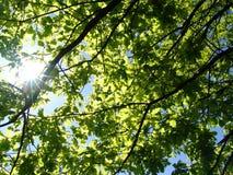 O sol e o carvalho. Imagens de Stock