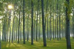 O sol levanta-se nas madeiras Foto de Stock