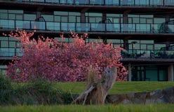 O sol morno da noite atrasada trava as flores cor-de-rosa de uma árvore de cereja na frente de uma construção de vidro fotos de stock