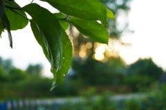 O sol no por do sol através das folhas imagem de stock