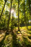 O sol que brilha através das árvores na floresta no dia ensolarado bonito Fotografia de Stock