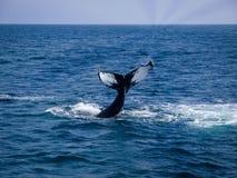 O solha da cauda da baleia toma as impressões digitais 2 Imagens de Stock