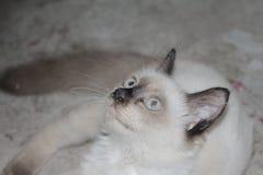 O sono bonito branco bonito do gato confundiu tão bonito ao sul de Tailândia Fotos de Stock