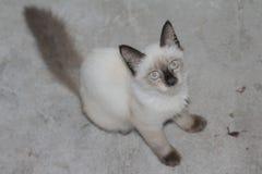 O sono branco bonito do gato persa confundiu tão bonito ao sul de Tailândia Foto de Stock