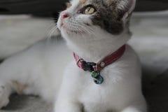 O sono branco bonito do gato persa confundiu tão bonito ao sul de Tailândia Fotografia de Stock