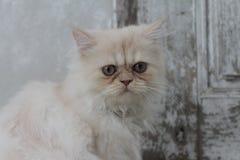 O sono branco bonito do gato persa confundiu tão bonito ao sul de Tailândia Fotos de Stock Royalty Free