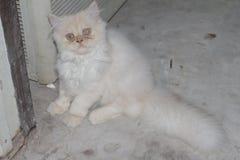 O sono branco bonito do gato persa confundiu tão bonito ao sul de Tailândia Fotografia de Stock Royalty Free