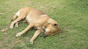 O sono do animal de estimação do cão preguiçoso estabelece o canino senta o conceito Foto de Stock Royalty Free