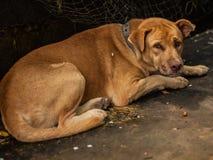 O sono do cão de Brown. Fotografia de Stock Royalty Free