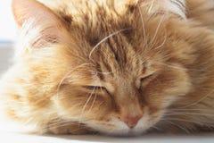 O sono macio bonito do gato do gengibre e relaxa, açaima o retrato Imagens de Stock