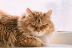 O sono macio bonito do gato do gengibre e relaxa, açaima o retrato Fotos de Stock Royalty Free