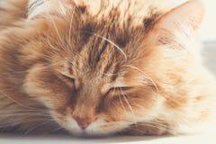 O sono macio bonito do gato do gengibre e relaxa, açaima o retrato Fotos de Stock
