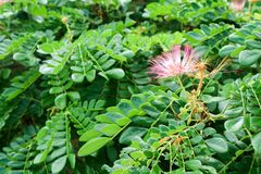 O sopro de pó vermelho é um nativo da árvore a Bornéu foto de stock