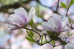 O soulangeana da magnólia igualmente chamou a árvore de florescência da primavera da magnólia de pires com a flor branca cor-de-r fotografia de stock royalty free