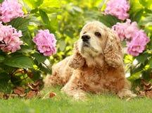 O Spaniel de Cocker inglês da raça do cão encontra-se nas flores Fotografia de Stock