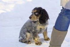 O spaniel triste do cão senta-se em um parque em uma estrada nevado Imagem de Stock Royalty Free