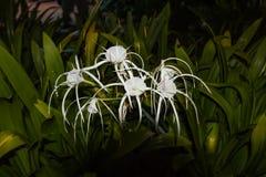 O speciosa de Hymenocallis, o verde-tinge spiderlily, é uma espécie do gênero Hymenocallis que é nativo às ilhas de barlavento imagens de stock royalty free