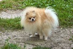 O Spitz alaranjado adulto de Pomeranian olha em sua própria cauda fotos de stock royalty free