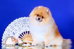 O Spitz alemão senta-se no fundo de um fã branco Um cão levanta com uma máscara do carnaval Imagens de Stock Royalty Free