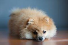 O Spitz alemão do cachorrinho pequeno encontra-se e olha-se a cor seletiva Foto de Stock