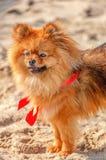 O spitz, cão, canino está ficando na areia com curva vermelha e está olhando em seu sentido Fotos de Stock Royalty Free