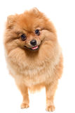 O spitz-cão curioso imagem de stock