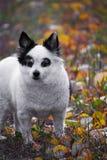 O Spitz da raça do cão anda no parque do outono Cão preto e branco pequeno nas folhas de outono coloridas foto de stock royalty free