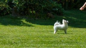 O spitz de Pomeranian joga com a menina no gramado corridas e saltos video estoque