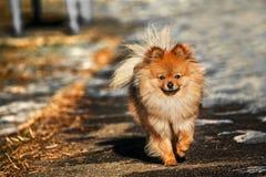 O Spitz estava andando na rua do gelo no dia ensolarado com luz brilhante Imagem de Stock