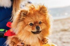 O Spitz estava sentando-se em uma mão com curva vermelha na praia Imagens de Stock Royalty Free