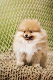 O Spitz novo do cachorrinho olha a câmera Imagem de Stock