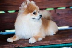 O Spitz peludo vermelho pequeno do cão encontra-se em um banco de madeira imagens de stock royalty free