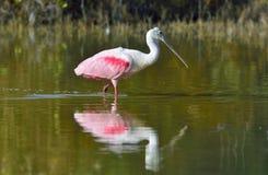 O Spoonbill róseo, ajaja do Platalea, foto de stock
