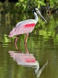 O Spoonbill róseo, ajaja do Platalea, foto de stock royalty free