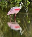O Spoonbill róseo, ajaja do Platalea, fotografia de stock