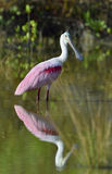 O Spoonbill róseo, ajaja do Platalea, Imagem de Stock