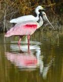 O Spoonbill róseo, ajaja do Platalea, fotografia de stock royalty free