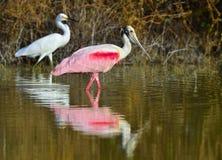 O Spoonbill róseo, ajaja do Platalea, imagens de stock royalty free