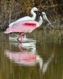 O Spoonbill róseo, ajaja do Platalea, Fotos de Stock