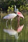 O spoonbill róseo (ajaja do Platalea) (colocado às vezes em seu próprio gênero Ajaja) Foto de Stock Royalty Free