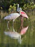 O spoonbill róseo (ajaja do Platalea) (colocado às vezes em seu próprio gênero Ajaja) Imagens de Stock