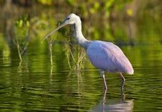 O Spoonbill róseo fêmea, ajaja do Platalea, Fotografia de Stock