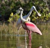 O spoonbill róseo Homem e fêmea fotos de stock royalty free