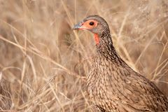 O Spurfowl de Swainson (swainsonii de Pternistis) Imagem de Stock Royalty Free