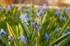 O squill Siberian azul floresce a florescência em um parque na mola no por do sol Fotografia de Stock Royalty Free